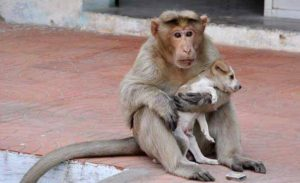 Monkey Adopts Stray Dog the Primate Even Protects and Feeds the Dog with Her Own Hands!